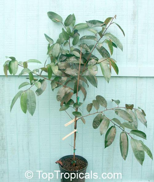 Chrysophyllum cainito, Caimito, Star apple - TopTropicals.com