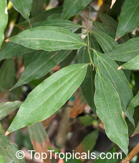 Cinnamomum zeylanicum, Cinnamon - TopTropicals.com