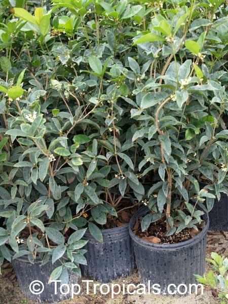 Osmanthus Fragrans Tea Olive Fragrant Olive Sweet Olive