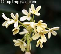 Osmanthus fragrans - Sweet Olive