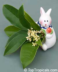 osmanthus rabbit