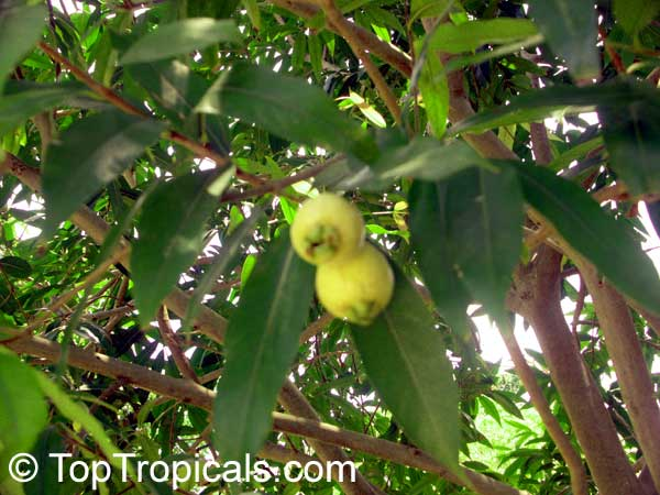 Syzygium Jambos Rose Apple Toptropicals Com