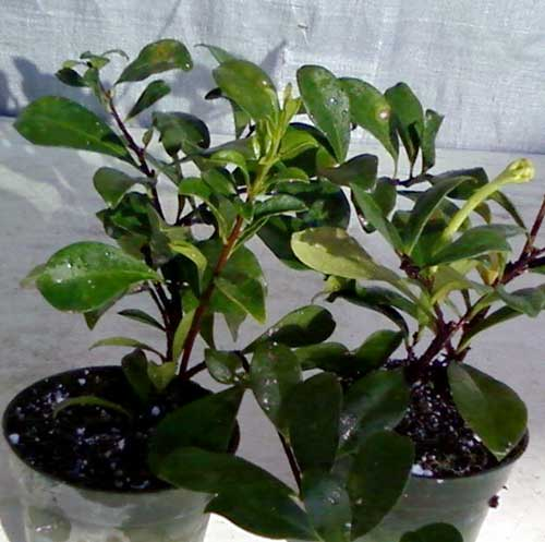 toptropicals  rare plants for home and garden, Natural flower