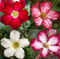 Adenium obesum - Multi-grafted Desert RoseClick to see full-size image