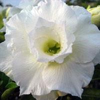 Adenium Akehema (Anatta) - seedsClick to see full-size image