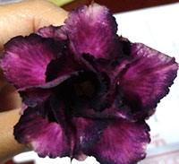 Adenium Black Purple, Grafted  Click to see full-size image
