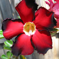 Adenium Black Red - seeds