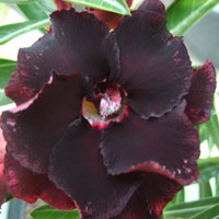 Adenium Black Widow (Black Window), Grafted  Click to see full-size image