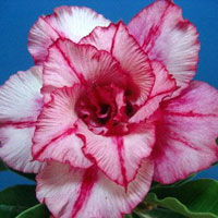 Adenium Bua Champoo, Grafted