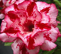 Adenium Chot Rassamee, Grafted