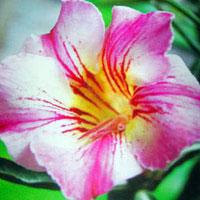 Adenium Deeva (Pinkchange) - seedsClick to see full-size image