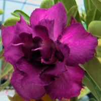 Adenium Double Violet - seeds