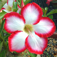 Adenium Uranium (Noble) - seeds