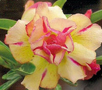 Adenium Sab Jaren Yellow, Grafted  Click to see full-size image