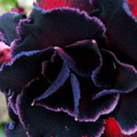 Adenium Black Steel - seedsClick to see full-size image