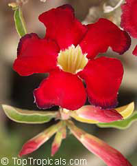 Adenium Choktaveertup - seeds