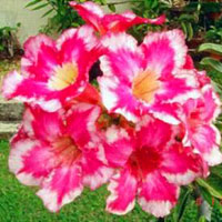 Adenium Fire of Love (Sangdao) - seeds  Click to see full-size image