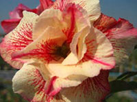 Adenium Fragrant Yellow, Grafted  Click to see full-size image