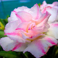 Adenium Double Immo (Jarunpron) - seeds