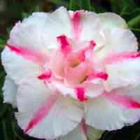 Adenium Money Money, Grafted  Click to see full-size image