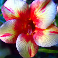 Adenium Pink Diamond - seeds