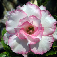 Adenium Happy (Ploy Pakay), Grafted  Click to see full-size image