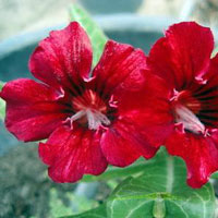 Adenium Red Dragon - seedsClick to see full-size image