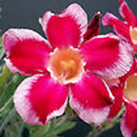 Adenium Santa Claus - seeds  Click to see full-size image