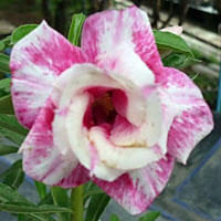 Adenium Strawberry Sundae - seeds  Click to see full-size image