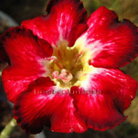 Adenium Woosala - seeds