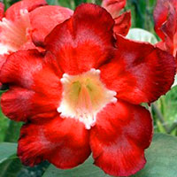 Adenium Blood Red - seeds  Click to see full-size image