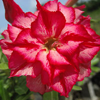 Adenium Chatpilin - seeds