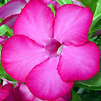 Adenium Cherry Pink (Shocky Pink) - seeds