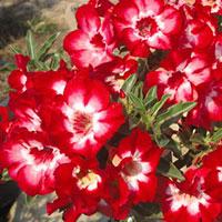 Adenium Aeksiam (Eakmongkol) - seedsClick to see full-size image