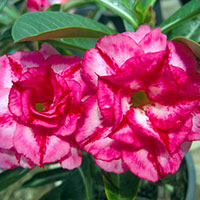 Adenium Nam Petch, Grafted  Click to see full-size image