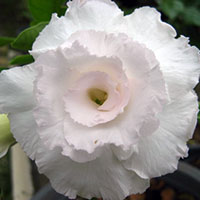 Adenium Kawhema (Snow White) - seeds  Click to see full-size image