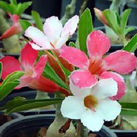 Adenium Khowhom (Three Kings) - seeds