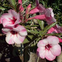 Adenium Legacy 2 - seeds