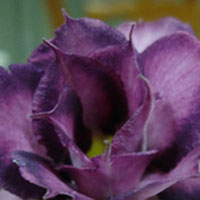 Adenium Extreme V (Double Purple) - seeds