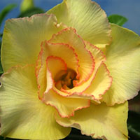 Adenium Golden Silk, Grafted  Click to see full-size image