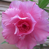 Adenium Hassadee Pink - seeds