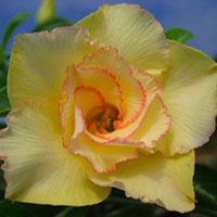 Adenium Mai Thong (Golden Silk), Grafted  Click to see full-size image