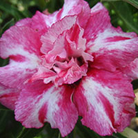 Adenium Siam Smile (Purple Rain), Grafted  Click to see full-size image