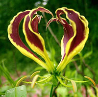 Gloriosa carsonii - seeds  Click to see full-size image