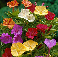 Mirabilis jalapa - Four oclock plant, assorted colors  Click to see full-size image