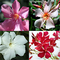 Nerium oleander mix - white/pink/red/salmon - seeds  Click to see full-size image