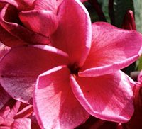 Plumeria Red Poung Roi Hom - Variegated leaves