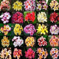 Plumeria hybrids - many varieties, Grafted  Click to see full-size image
