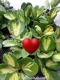 Hoya kerrii - Sweetheart, Valentine Hoya, variegated  Click to see full-size image