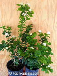 Fragrant Jasmine Sambac G Duke - buy one get one free!
